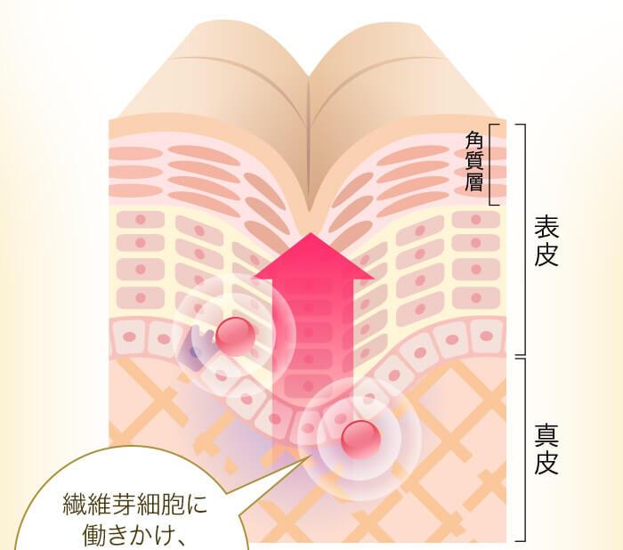 繊維芽細胞に働きかけ、コラーゲン産生を促進し、シワを改善。