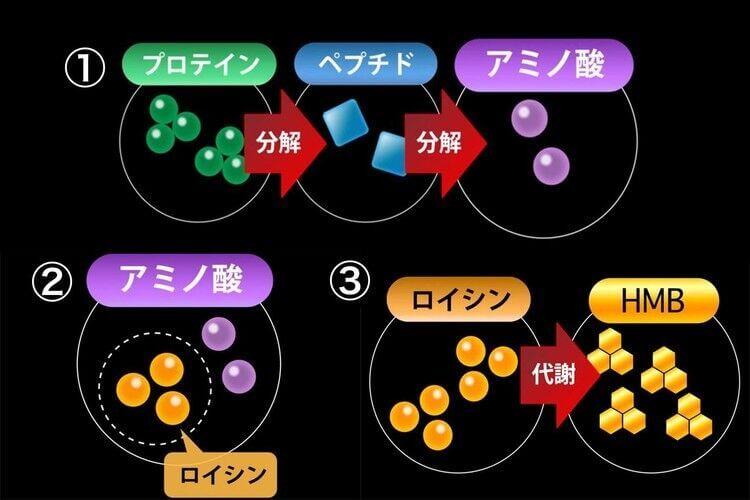 そもそもhmbとは?プロテインを摂取すると体内でアミノ酸に分解され、「ロイシン」が作られます。そしてこのロイシンがさらに分解されて「HMB」という代謝物質に変化します。このHMBがボディメイクに必要な成分なのです。