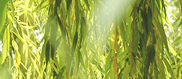 セイヨウシロヤナギ樹皮エキス