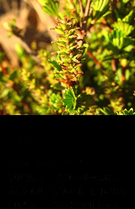 グリセリルグルコシド(保湿)集中的な保湿力で水分を一定に保つ性質があり、「復活の木」と呼ばれるミロタムヌスの葉に含まれる成分。