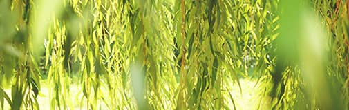 セイヨウシロヤナギ樹皮エキス(整肌)