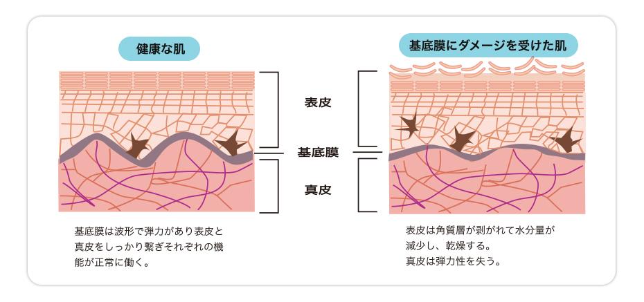 表皮と真皮をつなぐ「基底膜」をケアする新しい発想