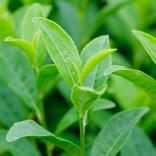 ビタミンKが豊富な茶葉のエキスでツヤ肌へ