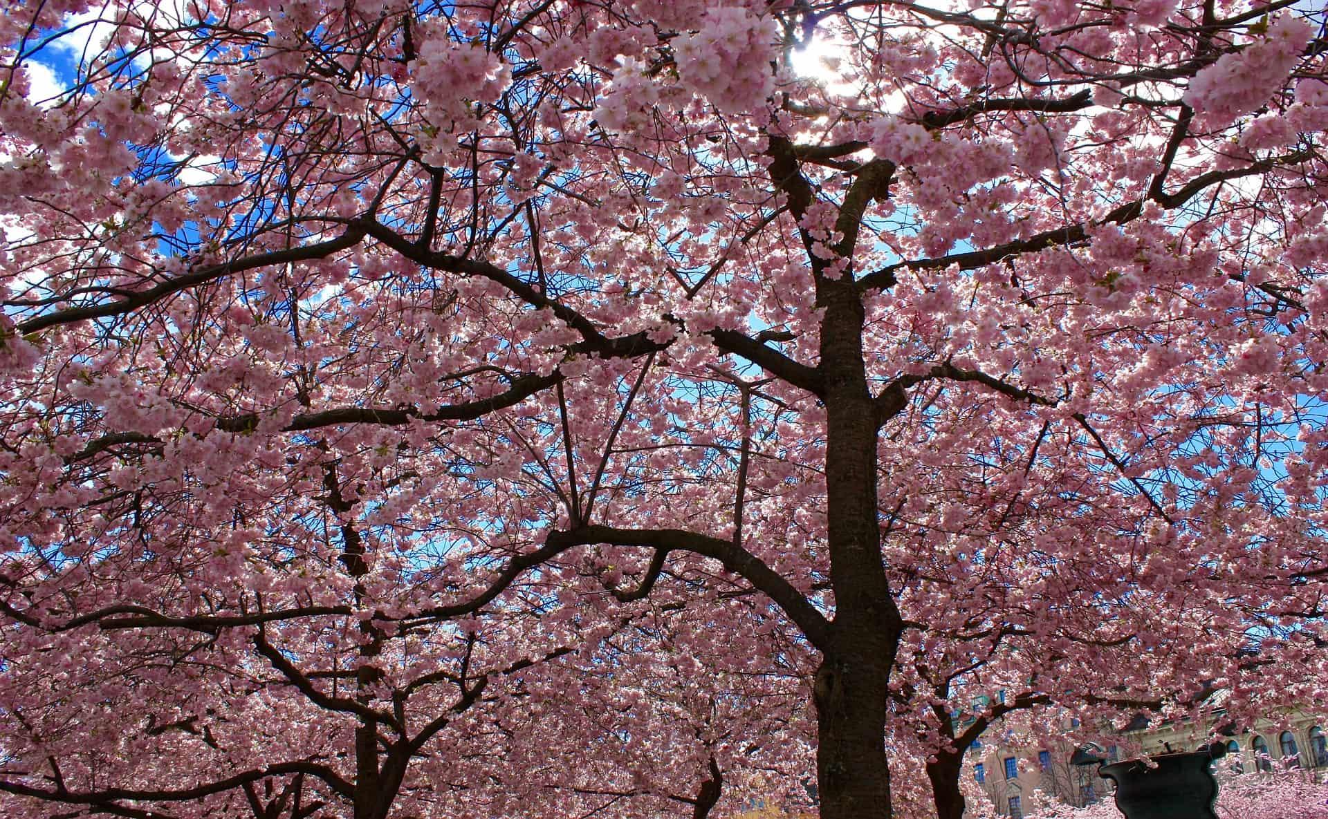 満開の桜香水サクラマグナ_ジャーナル_V08