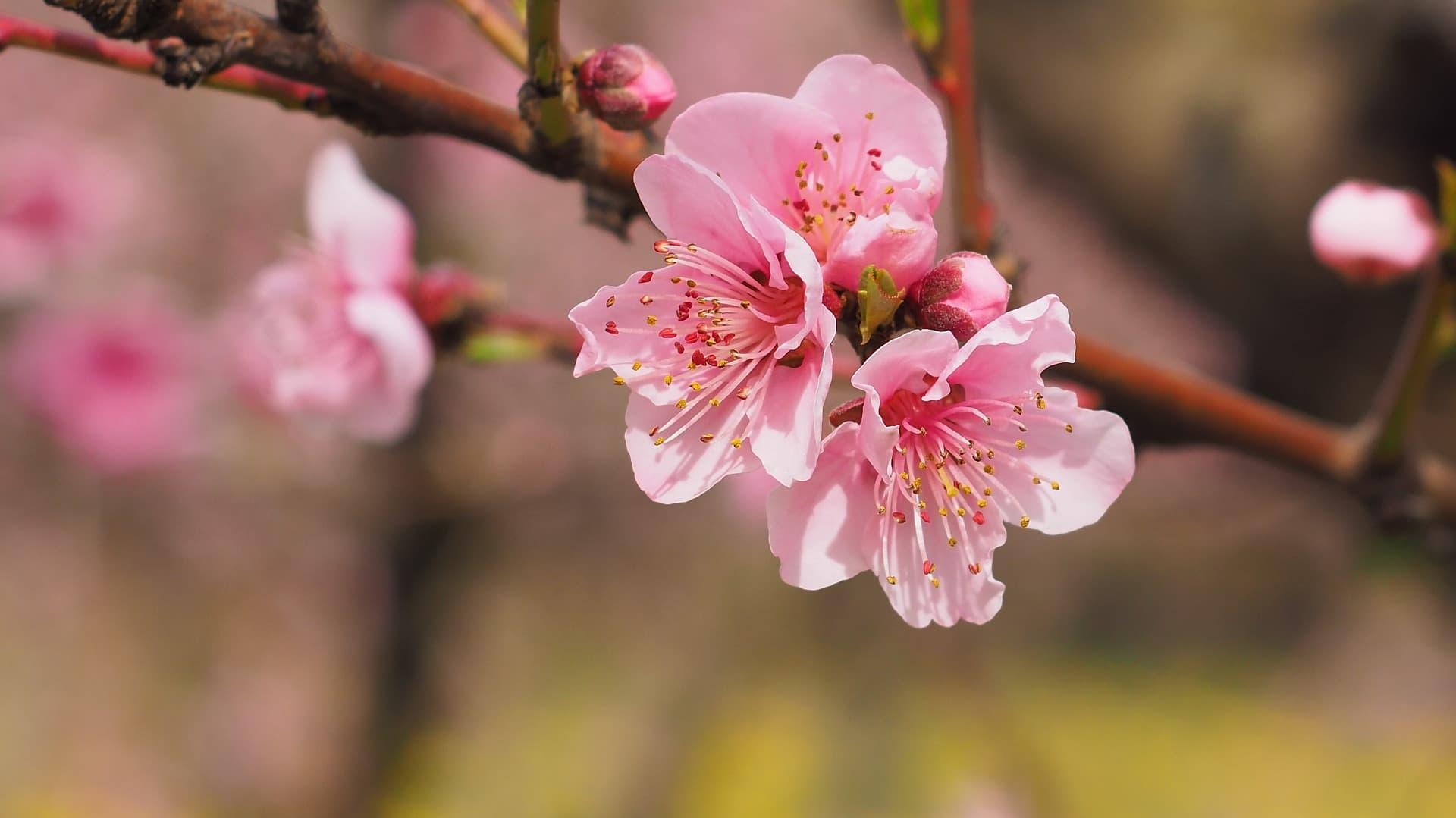 満開の桜香水サクラマグナ_ジャーナル_V02
