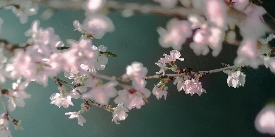 満開の桜香水サクラマグナ_バナー1