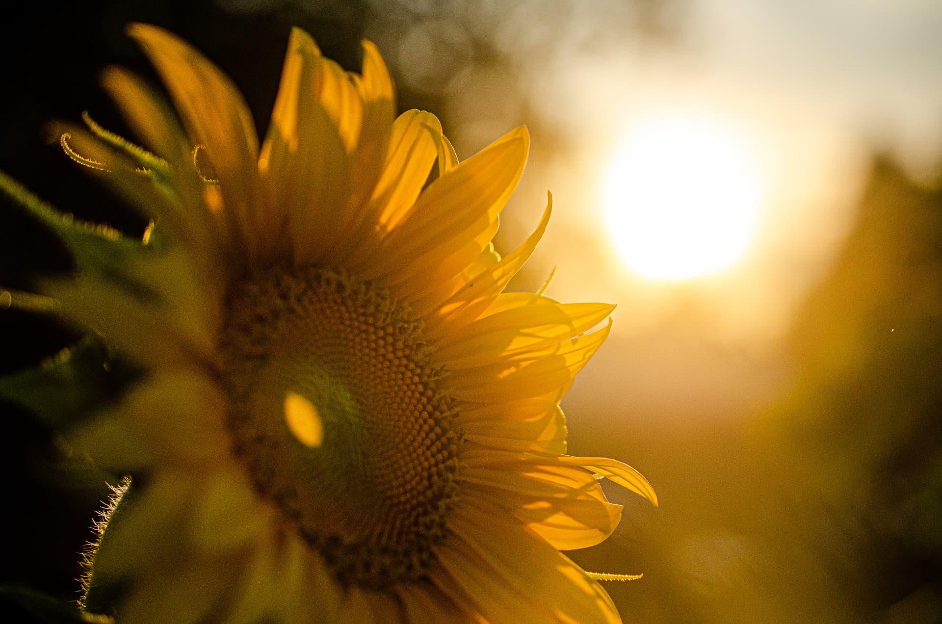 夏香水-SOLTERRA(ソルテッラ)-夏を告げるひまわり_ジャーナルV01