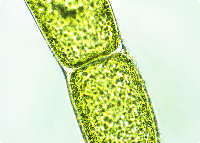 植物プランクトンエキス(整肌成分プランクトンエキス)