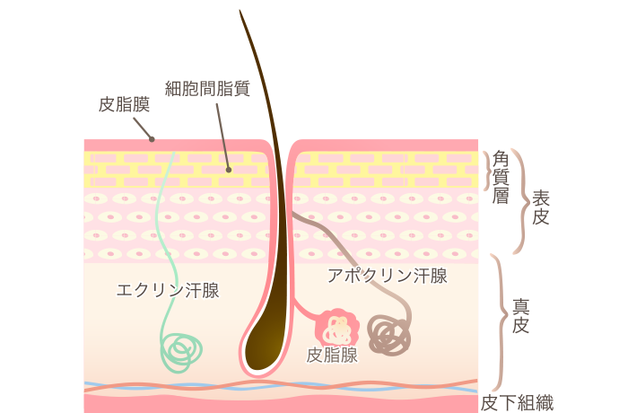 毛穴断面図