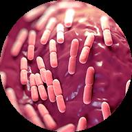 乳酸菌 EC-12