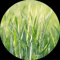 国産大麦若葉