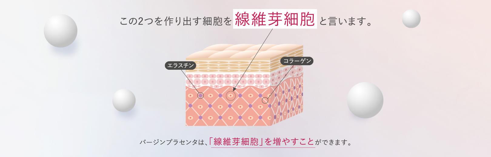 この2つを作り出す細胞を線維芽細胞 と言います。