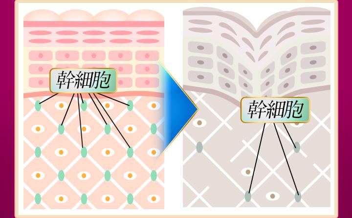 美肌成分の減少は『幹細胞の減少』が原因かも知れません
