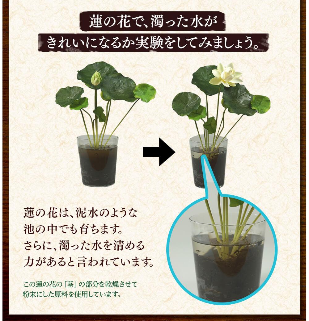 蓮の花は、泥水のような池の中でも育ちます。さらに、濁った水を清める力があると言われています。