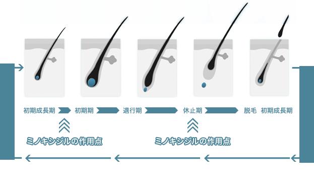 初期成長期 ミノキシジルの作用点 初期期 退行期 休止期 ミノキシジルの作用点 脱毛 初期成長期